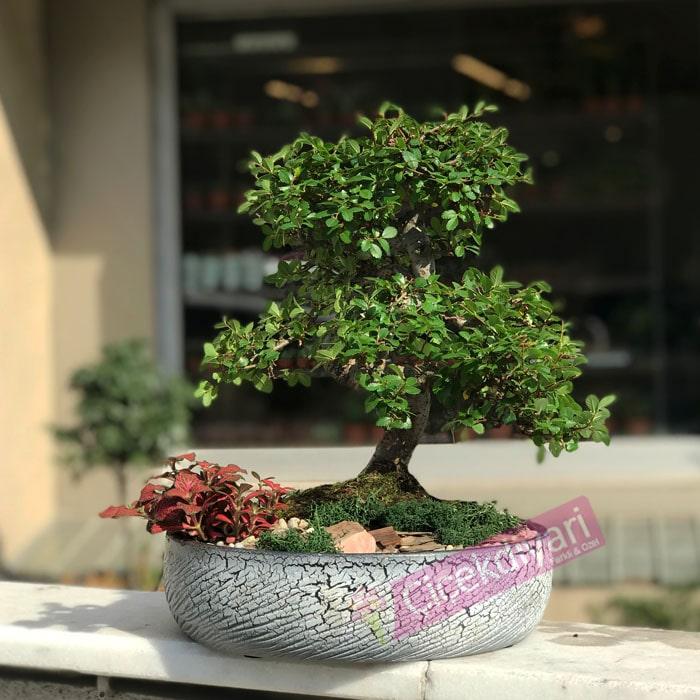 Zelkova Bonsai- Phitonia