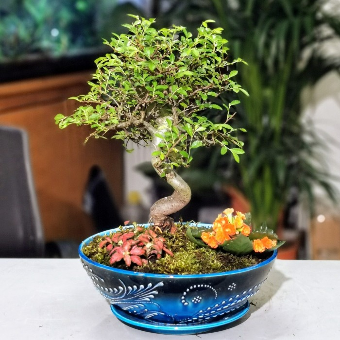 Zelkova Bonsai - Phitonia