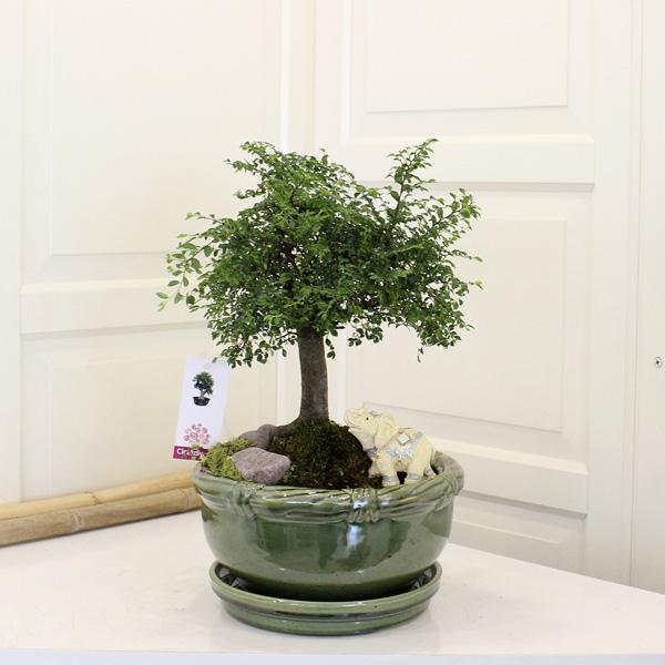 Zelkova Broom Bonsai