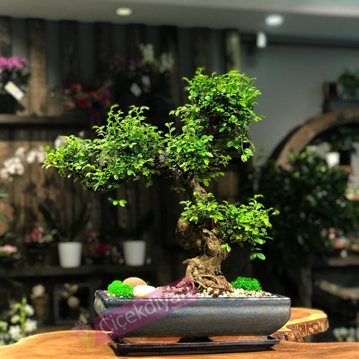 Zelkova Bonsai