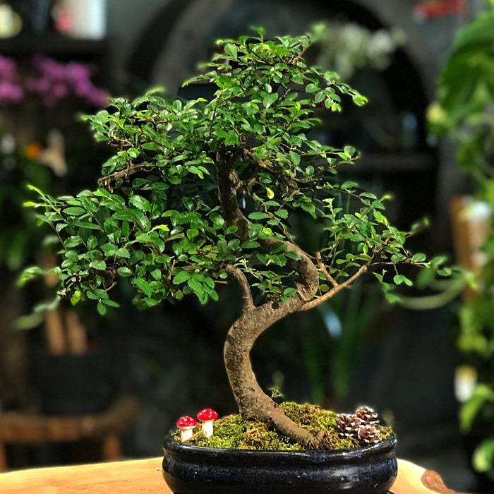 Zelkova Bonsai - Oval Saksý