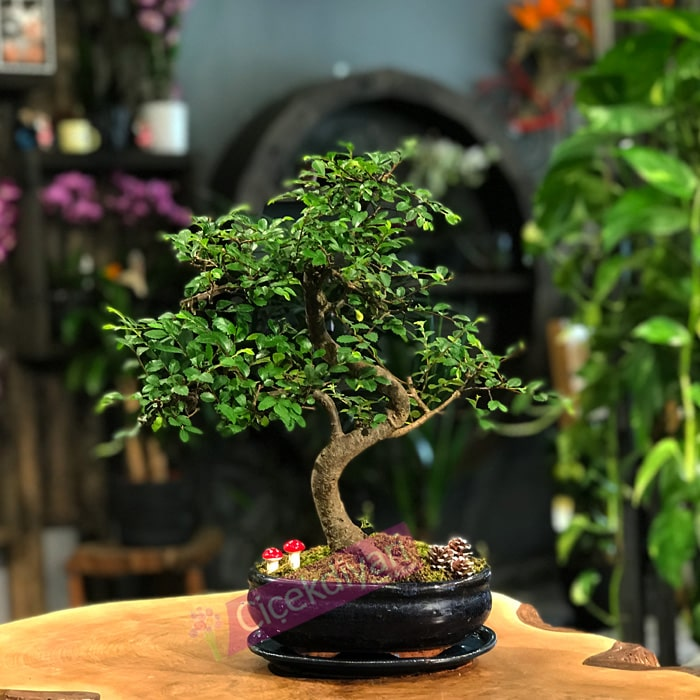Zelkova Bonsai- oval saksý