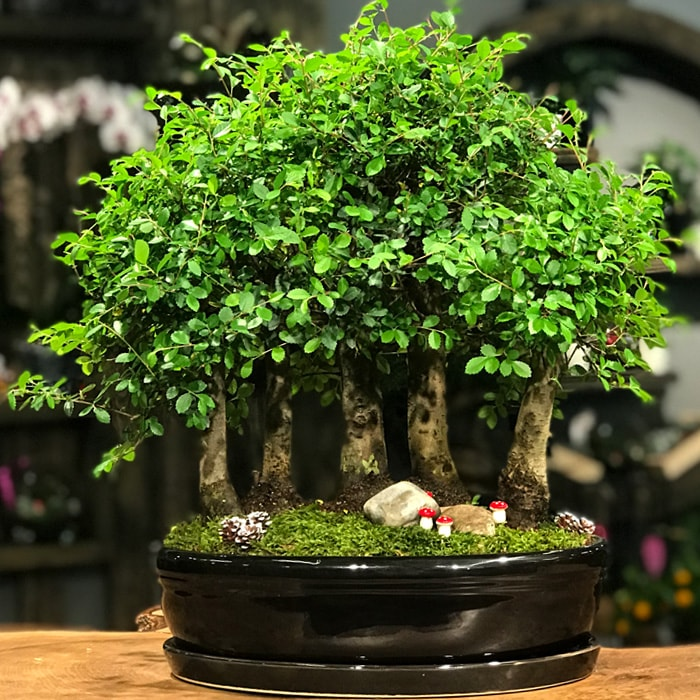 Bonsai Ormaný