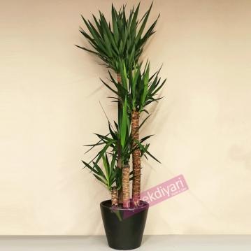 4 Köklü Yucca