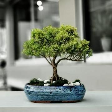 Juniperus Chinensis Aurea
