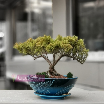 Old Juniperus Bonsai