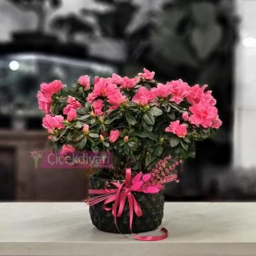 Açelya Bitkisi
