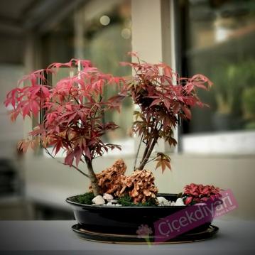 Acer Palmatum Bahçe
