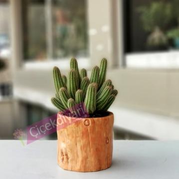 Echinopsis Chamaecereus kaktüs