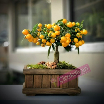 Ophelia Kumquat Bonsai