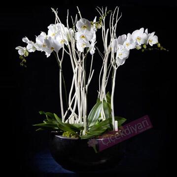 Beyaz Phalaenopsisler