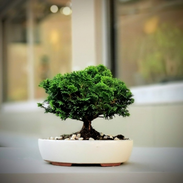 thuja occidentalis bonsai