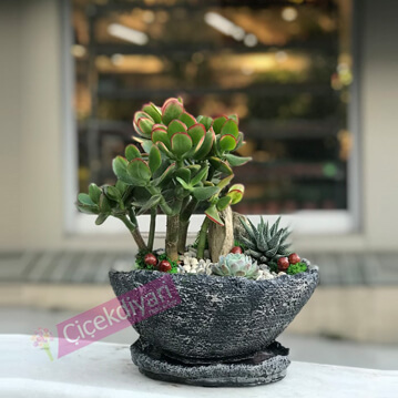 Crassula Bonsai