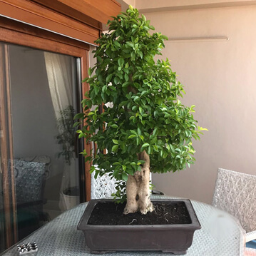 Durante Repens Bonsai