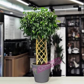 Örgülü Ficus Exotica