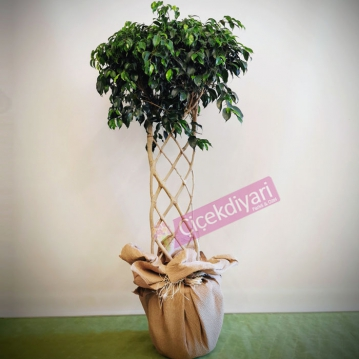 Ficus Exotica - Düz Örgü