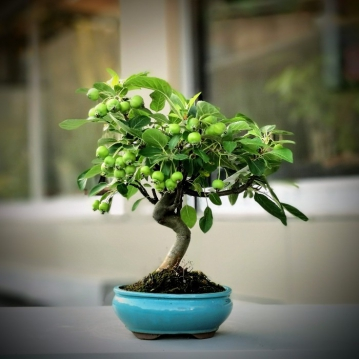 Elma Bonsai - malus halliana