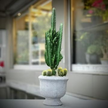 Euphorbia Trigona Kaktüs