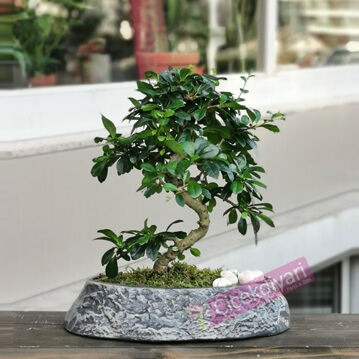Fukien Bonsai