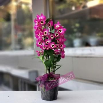 Mis Kokulu Bambu Orkide