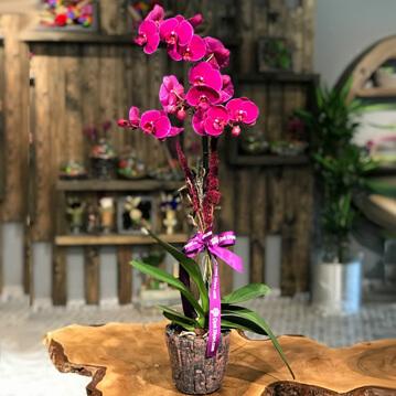 Tekli Fuþya Orkide