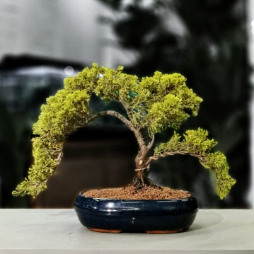 Juniperus Bonsai Cascade