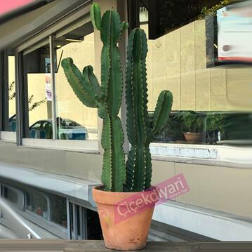 Euphorbia Ýngens Cowboy Cactus