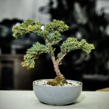 Juniperus Squmata Blue