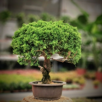 Chinese Juniperus Bonsai