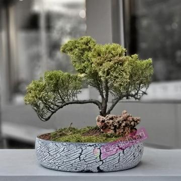 Kayalı Juniperus Bonsai