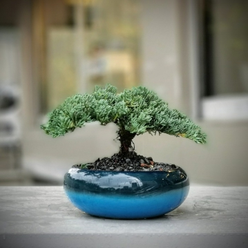 Juniperus Squamata Bonsai