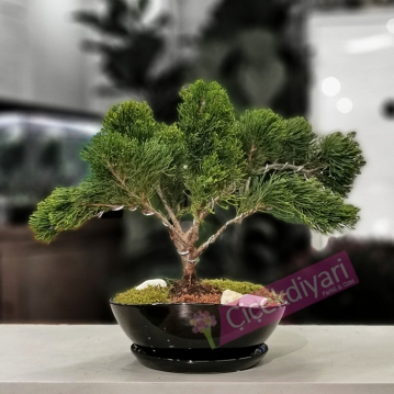 Juniperus Mint Julep Bonsai
