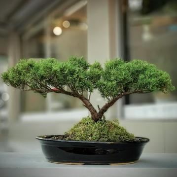 Old Gold Juniperus