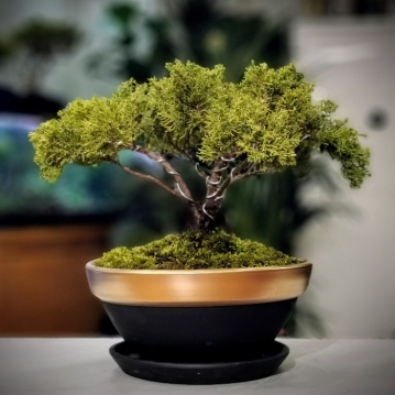 Old Gold Juniperus