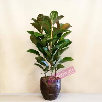 Kauçuk Bitkisi -Ficus Elestica