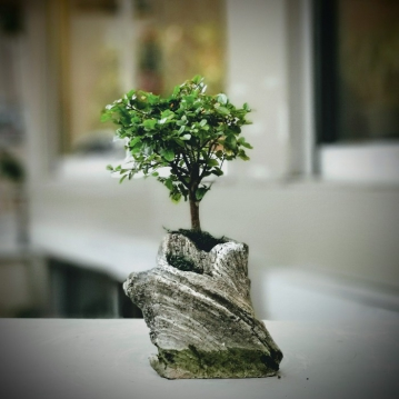 Kayada Fukien Bonsai