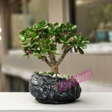 Crassula Ovata Bonsai
