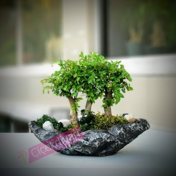 Üçlü Zelkova Broom Bonsai