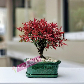 Nandina Domestica Bonsai