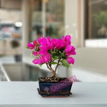 Küçük Begonvil Bonsai