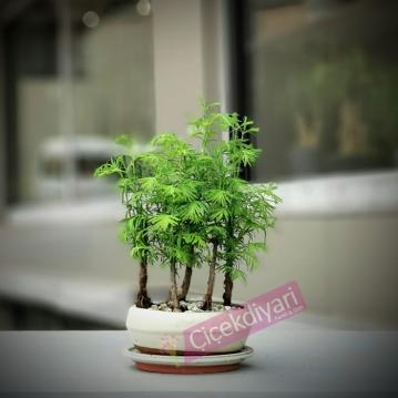 larex bonsai 5 köklü