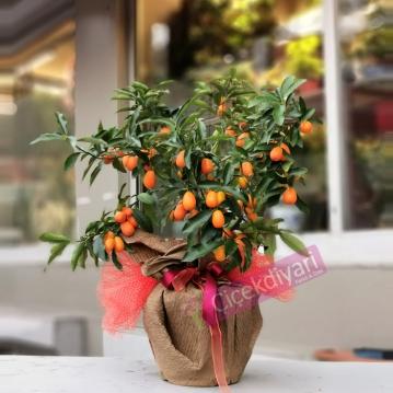Kumquat - Kamkat Aðacý
