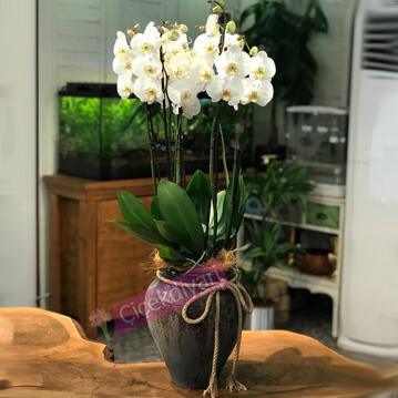 Küpte Beyaz Orkideler