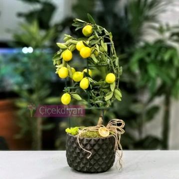 Limekuat Bonsai