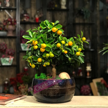 Calamondin bonsai