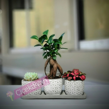 Çamlıca Mini Bonsai