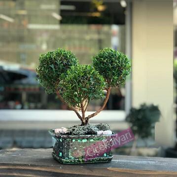 Myrtus Bonsai