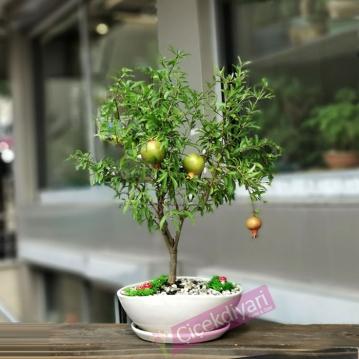 Nar Bonsai (Punica Granatum Nana)