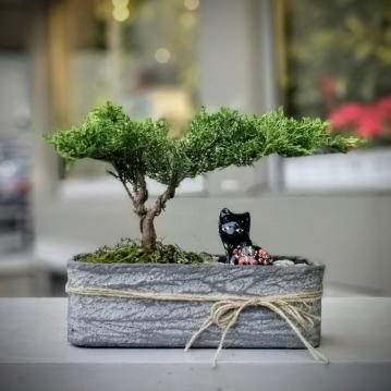 Juniperus Bonsai - Old Gold
