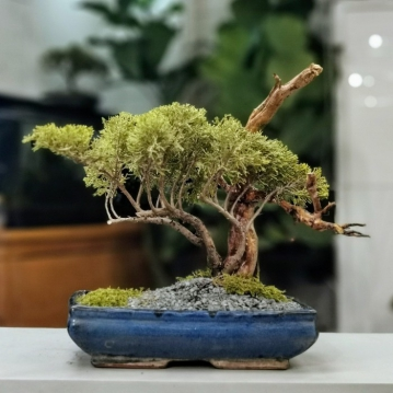 Juniperus Bonsai Half Cascade